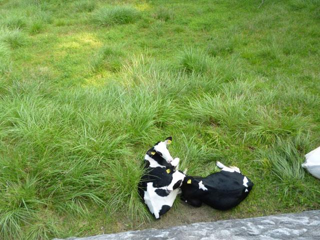 くつろいでいる乳牛