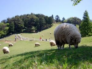 羊の自由放牧