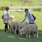 羊とのふれあいと餌やり体験