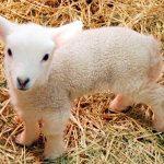 羊のベビーラッシュとお披露目!