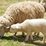 子羊のお披露目と親子で自由放牧!