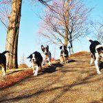 牧羊犬の子犬たち!