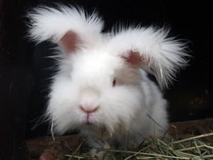 日本アンゴラウサギ