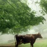 霧の中の乳牛