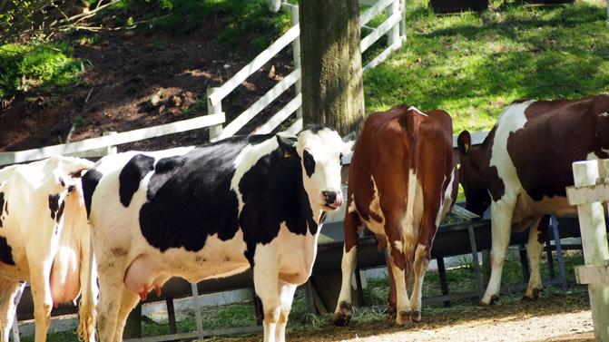 乳牛 (ホルスタイン) | 六甲山...