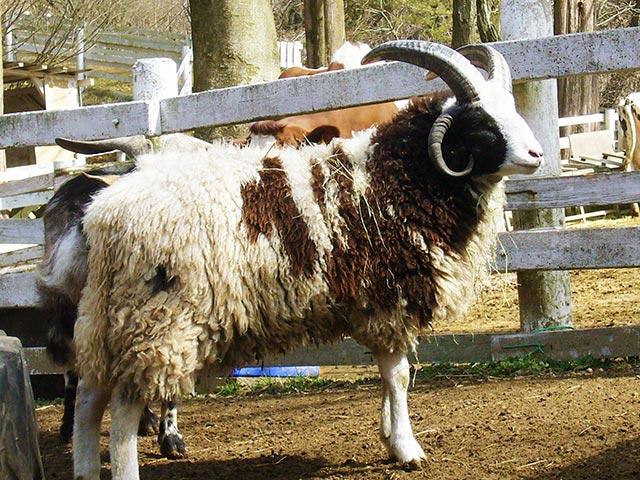 ジャコブ羊