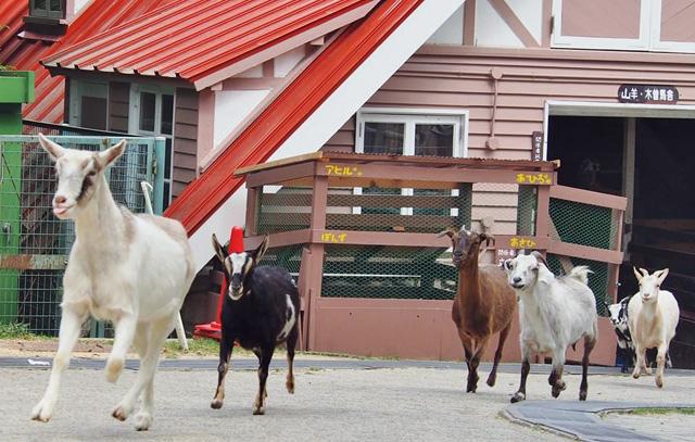 六甲山牧場のヤギたち