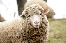 羊のふれあい体験