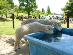 羊の水飲み場