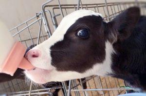 子牛のミルクやり体験