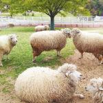 9/2 羊ガイドツアー